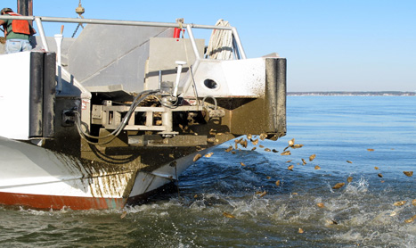 A Chesapeake Bay Foundation boat places hatchery-produced seed oysters on a sanctuary reef. CNS Photo by Greg Masters.